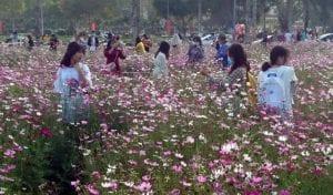 """Cánh đồng hoa sao nhái thu hút nhiều người """"check-in"""" tại Stella Mega City - 19"""